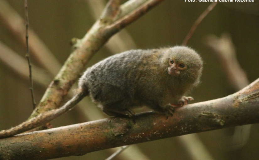Capítulo 3: mini-macacos dafloresta